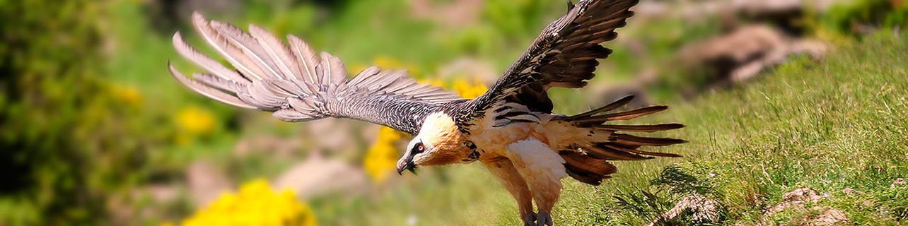 A los Pirineos para ver el viaje de las aves
