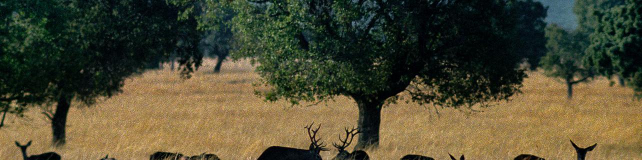 Madrugar para escuchar la berrea de los ciervos