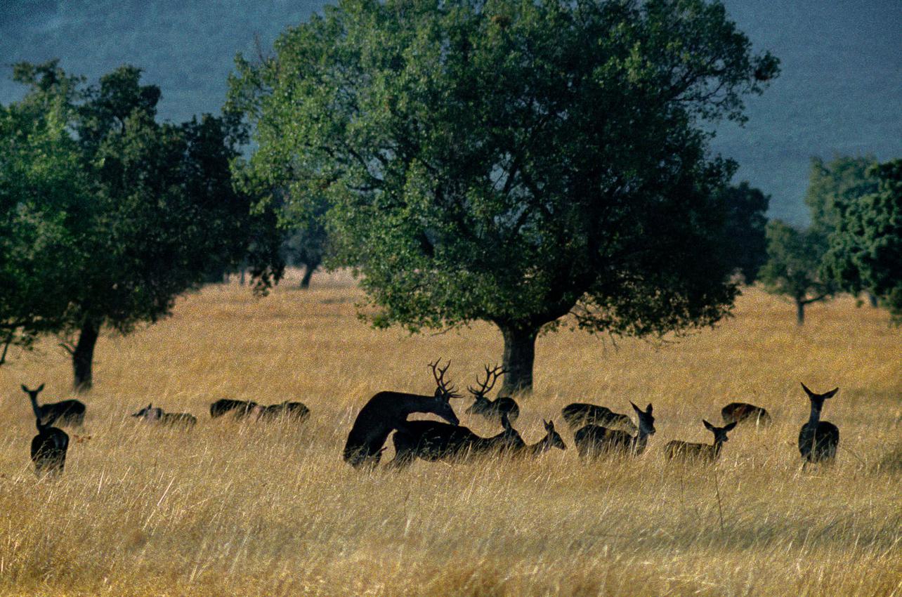 Ciervos en el Parque Nacional de Cabañeros. Foto: Manuel Ruiz Toribio