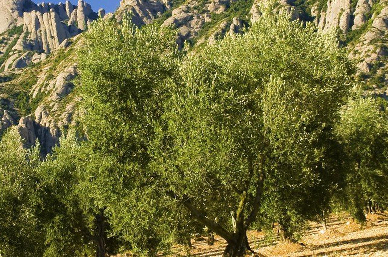 Oleoturismo en Montserrat