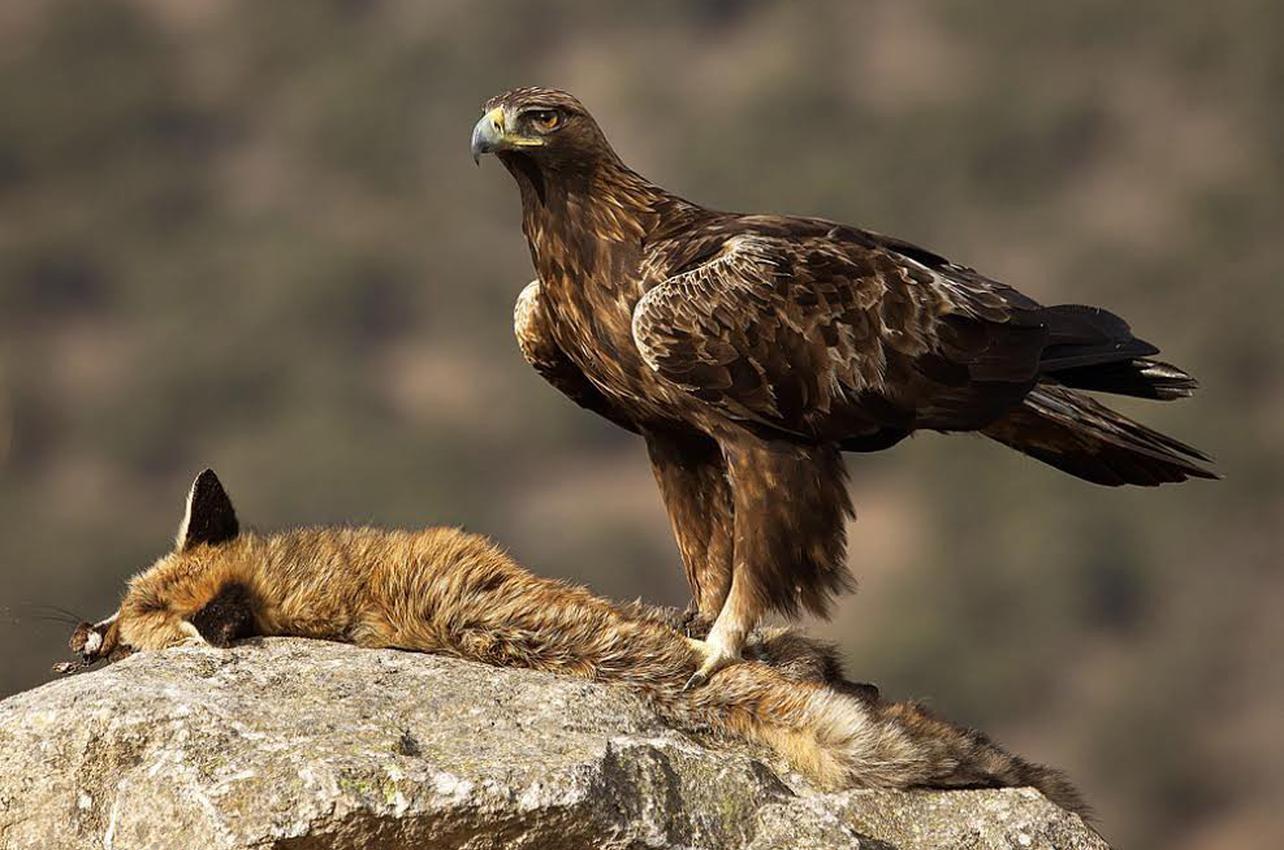 Actividad fotográfica de aves rapaces en El Espinar