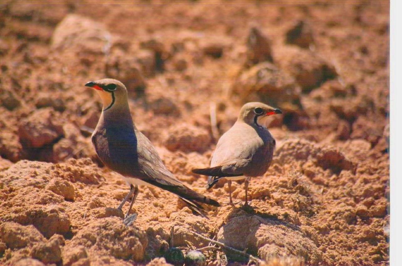 Observación de aves en la estepa manchega