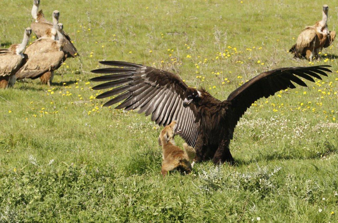 Observación de aves carroñeras desde aguardo en Cáceres