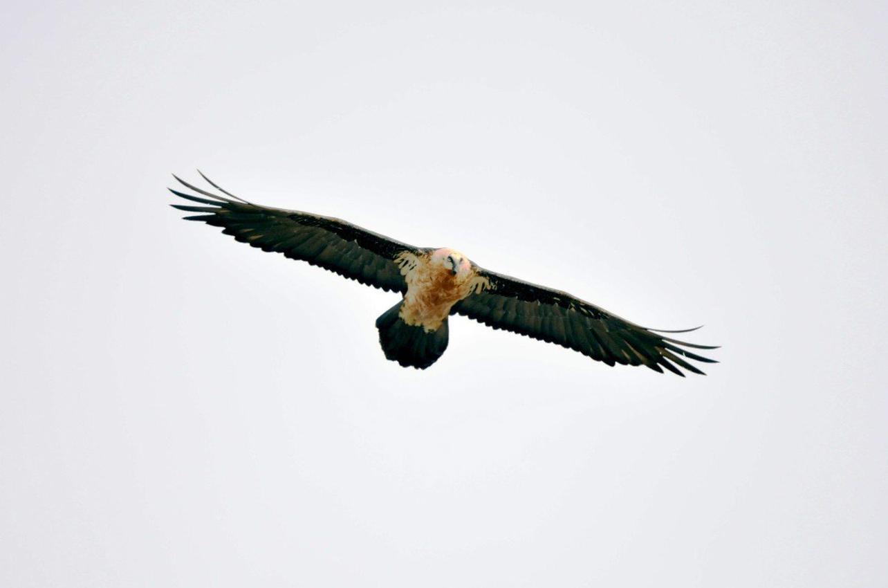 Observación de aves pirenaicas